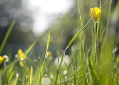 Soft morning light (Wouter de Bruijn) Tags: flowers sun flower nature water grass buttercup bokeh outdoor droplet fujifilm xt1 fujinonxf35mmf14r