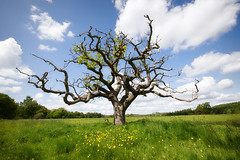 Oak Tree and Buttercups (aveyardphotography) Tags: old blue sky tree green nature grass leaves rural daylight oak cloudy yorkshire north grassland coneysthorpe