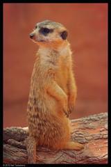 meerkat (Neil Tackaberry) Tags: usa animal gardens standing tampa meerkat florida neil lookout buschgardens busch sentry tackaberry neiltackaberry