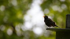 Blackbird - HSK_0898 (Hasan Karaglmez) Tags: bird netherlands forest canon contemporary sigma 7d turdusmerula blackbird eurasianblackbird hasankaragulmez 150600mm hasankaraglmez