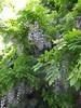 Wisteria (bryanilona) Tags: tree birmingham blossom wisteria cannonhillpark bej fantasticflower