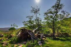 Der gefallene Baum (Jan mrik) Tags: sun tree canon eos natur himmel glen fairy fallen grn blau sonne baum schottland 6d 2016 liegend umgefallen cmrk cmarik