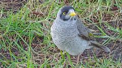 Manorina melanocephala (Tony Markham) Tags: bird native australia wollongong illawarra stuartpark northwollongong noisyminer australianbird nativebird manorinamelanocephala