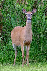 White-tailed Deer (magicnature) Tags: deer whitetailed