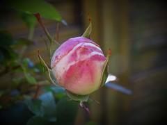 20160523 Bouton de rose  Pierre de Ronsard (@bodil) Tags: france rose normandie calvados pierrederonsard
