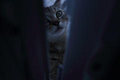 my pretty, lil girl (fenia_ps) Tags: blue pet house love home window beautiful cat dark eyes pretty purple grunge gray lil iridescent holographic