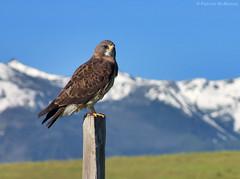 Hawk Heaven - Wallowa County - Oregon (Electric Crayon) Tags: usa bird oregon rural america joseph spring unitedstates hawk raptor pacificnorthwest easternoregon patrickmcmanus wallowacounty elkmountainroad electriccrayon