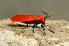 Female Scarlet Phaudid Moth (Phauda sp., Phaudidae) (John Horstman (itchydogimages, SINOBUG)) Tags: china red macro topf25 insect topf50 moth lepidoptera yunnan tweet fbm phaudidae itchydogimages sinobug