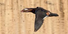 Mandarin - Aix galericulata (normanwest4tography) Tags: bird nature flying mandarin waterfowl wildbird aquaticbird sigma500f45 canon7d2