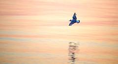 Bonaparte Gull in Pastels (imageClear) Tags: light sunset reflection bird nature beauty wisconsin wonder evening fly aperture nikon flickr moody artistic lakemichigan pastels lakeshore lovely sheboygan photostream eveninglight bif bonapartesgull 80400mm d600 imageclear