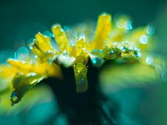 Lwenzahn mal anders (Vintage lens lover) Tags: lensbaby bokeh outdoor natur blumen gelb lwenzahn velvet56