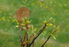 Svamp (Arrhenia sp.?) som vxer p mossa (Biologiska betraktelser) Tags: moss sweden fungi bohusln bryophyte fstning kunglv bohus