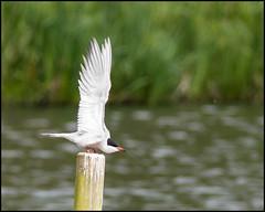 Common Tern (John R Chandler) Tags: animal bird brandonmarsh commontern tern unitedkingdom warwickshire warwickshirewildlifetrust coventry westmidlands uk sternahirundo