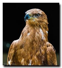Tawny Eagle (jdl1963) Tags: bird flying eagle hawk flight trust tawny conservancy