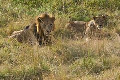 Our Engine Awoke Them (paulinuk99999 - just no time :() Tags: paulinuk99999 nairobinationalpark kenya wildlife lions male female mating couple lion lioness sal70400g
