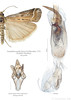 corkscrew genitalia (Franziska Bauer) Tags: insect moth lepidoptera pyralidae corkscrew genitalia phycitinae pyraloidea genitaliadissection