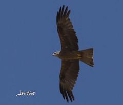 Aguila (javiblue25) Tags: aves naturaleza aguila pjaro rapaz vuelo