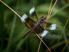 Grip Stop (Portraying Life) Tags: unitedstates dragonfly michigan