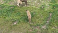 Parc Zoo Overloon (Jeroen Stroes Photography) Tags: leeuw leeuwen wittetijger tijger dierentuin zoo tiergarten overloon apen aapjes parc parczoo lion lions