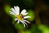 Hoverfly........ (klythawk) Tags: hoverfly syrphidae daisy flower sunlight shadows summer nature green yellow brown black white olympus em1 omd 300mm 14xtc claypitnaturereserve wildlifetrust sssi wildord nottingham klythawk
