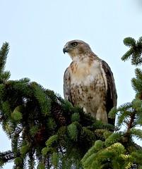 Picnic Companion (Slow Turning) Tags: buteojamaicensis redtailedhawk bird raptor perched spruce tree branch oneyearold summer southernontario