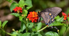 9282e2x black swallowtail on lantana (jjjj56cp) Tags: swallowtail swallowtailbutterfly blackswallowtailbutterfly butterflygarden inthewild black lantana flowers blossoms blooms vivid colorful macro closeup jennypansing summer