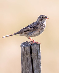 SPARROW, Vesper (teddcenter) Tags: bird molt montana sparrow stillwatercounty vestpersparrow