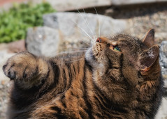 You may kiss my paw ! (FocusPocus Photography) Tags: cleo katze cat chat gato tier animal haustier pet pfote paw tabby feline