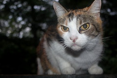 Patches Calico photo of the day 8/12/2016 (Patches Madison) Tags: patches calico cute sweet beautiful pet