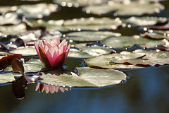 Water Lily in the Sun (mclcbooks) Tags: flower flowers floral waterlily waterlilies lilypad lilypads water reflections bokeh denverbotanicgardens colorado