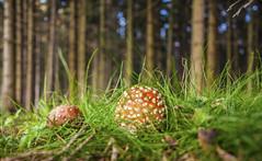 Am Waldrand (Mariandl48) Tags: fliegenpilz wald gras sommersgut wenigzell steiermark austria