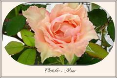 Outubro  Rosa (o.dirce) Tags: rosa outubro outubrorosa odirce nature natureza 2016