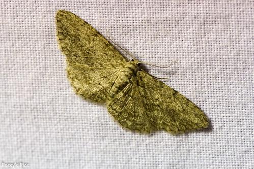 Ocean Grove Moth