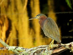 """Golden Morning For Old Chucklehead"" (Gary Helm) Tags: green heron bird birds fly flight feathers perch limb earlymorning water marsh swamp nature wildlife outside outdoor animal chucklehead greenheron poke indianhen sx60hs canon image photograph camera powershot lakemarian osceolacounty florida officalbird widespread usa us ghelm4747 garyhelm"