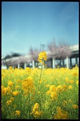 Canola Flower and Sakura 2016 (Shizuho (41style)) Tags: 2016 flower sakura 桜 菜の花 aria 35mm