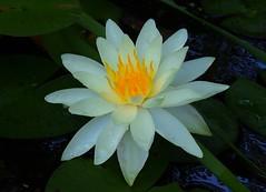 P9252159 (eriko_jpn) Tags: waterlily whiteflower
