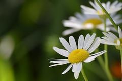 DSC_0140 (Kelson Souza) Tags: flor primavera flower flowers natureza beleza jardim jardinagem garden gardens colorido floricultura petalas ptalas florescer flores margarida margaridas