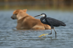 Western Reef Heron (Egretta gularis) stately walking past a bathing dog (Dave Montreuil) Tags: africa sleeping dog bird heron water pool animal walking pond adult african profile fulllength nobody westafrica western gambia marsh senegal shallow bathing sideview past egret capepoint wading thegambia wader twoanimals egrettagularis reefheron leastconcern