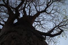 Savute baobab tree (www.JnyAroundTheWorld.com - Pictures & Travels) Tags: baobab botswana chobe savute safari africa gamedrive big5 jny canon jnyaroundtheworld jenniferlavoura