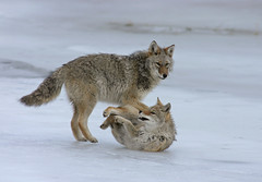 Coyotes On Ice - Larger One Showing Dominance (AlaskaFreezeFrame) Tags: coyotes winter fall alaska ice pond nature outdoors wildlife canon alaskafreezeframe dominant playing cute action frosty telephoto cold coyote 400mm mammal carnivore dominance closeup portrait snow frozen wrestling f28