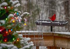 Cardinal + Christmas Tree
