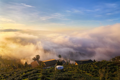 clouds at tea plantation (Thunderbolt_TW) Tags: sunset sea clouds forest canon ginkgo tea taiwan explore   plantation   hy bai lugu nantou     explored    fave50 fave100