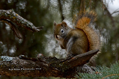 Red Squirrel DSC_7411 (Ron Kube Photography) Tags: red canada tree calgary nature fauna mammal nikon squirrel alberta redsquirrel calgaryalberta fishcreekpark tamiasciurushudsonicus d7100 fcpp ronaldok nikond7100 ronkubephotography