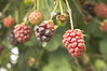 new zealand 12 (rotorua- julians berry farm) (mj portfolio) Tags: travel newzealand nature fruit berry rotorua berries northisland bayofplenty