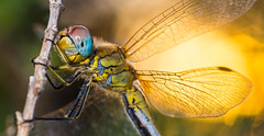 Dragonfly close up against the sun (David Parody) Tags: david m parody 2014