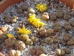 DSCF0372 (BobTravels) Tags: plant stone bob lithops lithop messem bobwitney