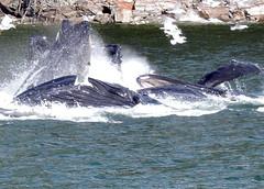 FEEDING (walladucks) Tags: feeding whale humpback bubblenest