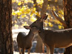 Mother and Fawn (pjink11) Tags: california fall nationalpark yosemite 2014 yosemitenp