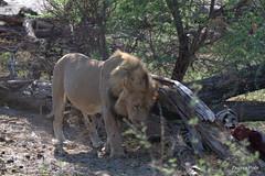 Lion vs Vultures (Zsuzsa Por) Tags: africa bird animal wildlife lion felines botswana vulture animalplanet makgadikgadi wildlifeafrica canonistas canoneos7d canonef70200mmf28lisusmii canonextender14xiii