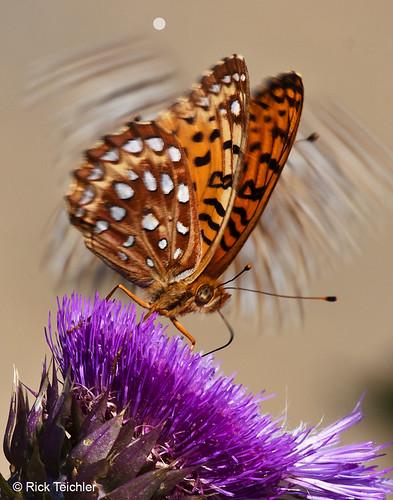 Photo - Rick Teichler - Fritillary Halo - 3rd Place - Flora & Fauna